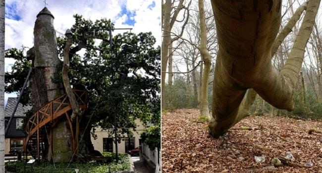 arbres-remarquables-boucles-de-la-seine