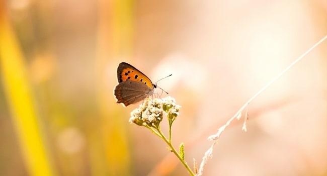 papillon_golfe_du_morhiban